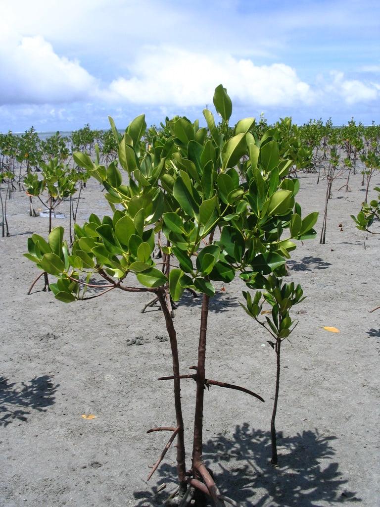 المانغروف Mangrove
